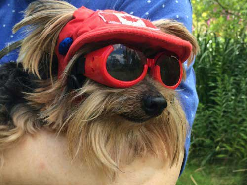 A Yorkshire terrier in the arms of a woman. The dog is wearing a red hat and goggles.