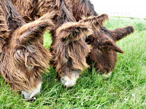 Furry donkeys eating grass