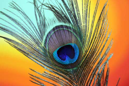 Very colourful peacock feather