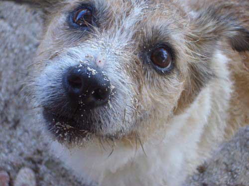Closeup of a Jack Russell Terrier dog, sitting on the beach with sand on his face. Being grateful feels great. Love vs stuff. Love wins every time.