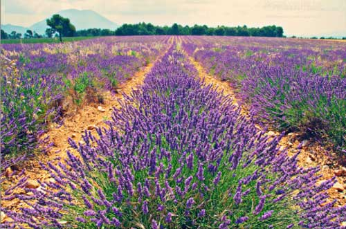 Field of lavender growing in the South of France.
