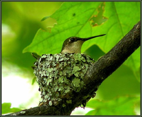 A hummingbird sitting in their nest, which is covered with a soft green tiling of lichens.