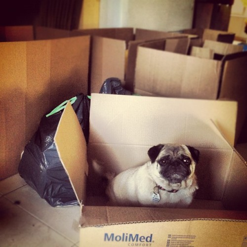 A worried looking pug sits in a cardboard box in preparation to pack and move.